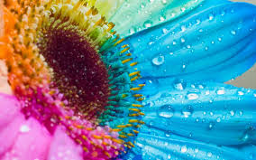 colurful sunflower