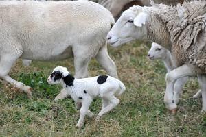 Dorper Merino Ewes and Lambs (CJ)