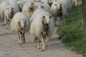 sheep in Italy